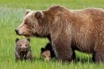 """Il caso dell'orsa Daniza: """"L'Italia ha agito secondo le norme Ue"""""""