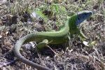 Alcantara, un fiume di biodiversità: ecco il regno di trote, gufi e ramarri