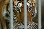 Parigi, in 200 danno la caccia ad una tigre ma era un... gattone