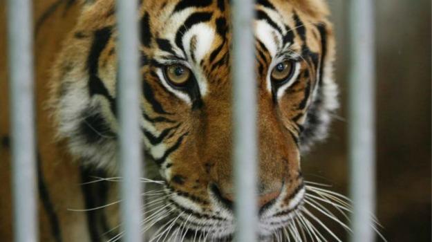 animale, caccia, felino, tigre, Sicilia, Società