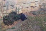 Questione di privacy, gorilla lancia sasso contro turisti che lo filmano - Il video