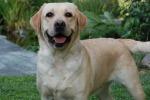 """Nel Regno Unito un premio speciale a Daisy, la giovane labrador """"fiuta-tumori"""": 550 i casi scoperti"""