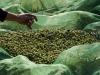 Razzie di olive a Paceco: in tre colti sul fatto e arrestati