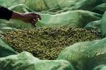 Nel Belice le olive si raccolgono anche la notte