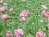 Fiori sul palco dell'Ariston: per gli artisti 100 bouquet a chilometro zero, bandito l'iris viola