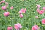 Afghanistan, nel 2014 record nella produzione di papaveri per l'oppio