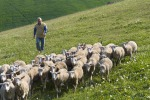 Prezzo del latte troppo basso, parte da Trapani la serrata degli allevatori siciliani di ovini