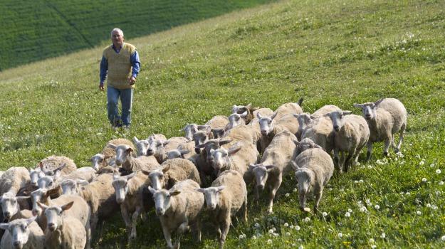 agira, brucellosi ovina, Enna, Cronaca