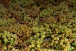 Unesco, l'uva Zibibbo di Pantelleria diventa Patrimonio dell'Umanità