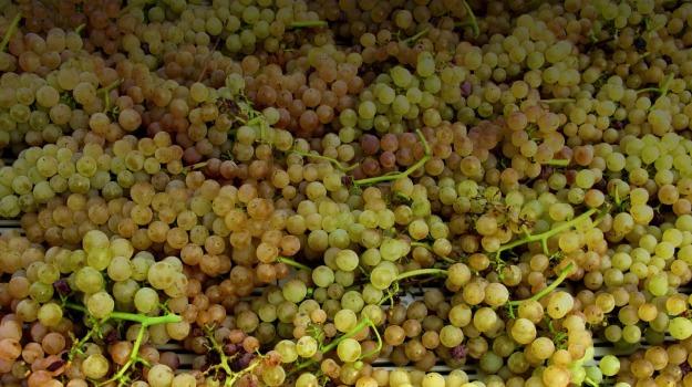AGRICOLTURA, uva, Trapani, Economia