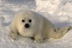 Altro che navigatore, le foche possiedono un GPS naturale