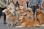 Passeggiata di Natale con i Golden Retriever, evento anche a Palermo