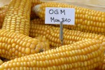"""Alimenti biotech, il """"no"""" dell'Unione europea: è polemica"""