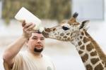 Latte artificiale per una giraffa di soli due mesi - Foto