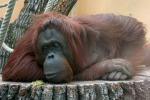 """Sentenza in Argentina, l'orango Sandra non è un soggetto umano: """"Va liberato"""""""