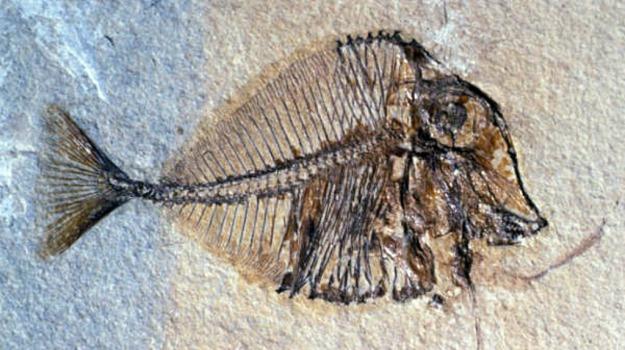 fossile, palla, pesce, scoperta, Sicilia, Vita