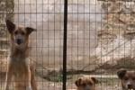 Randagi a Mussomeli, è scontro tra sindaco e animalisti sui trasferimenti