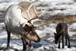Cala in tutto il mondo il numero delle renne: allarme per l'animale simbolo del Natale