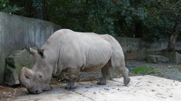 morte, rinoceronte, Sicilia, Vita