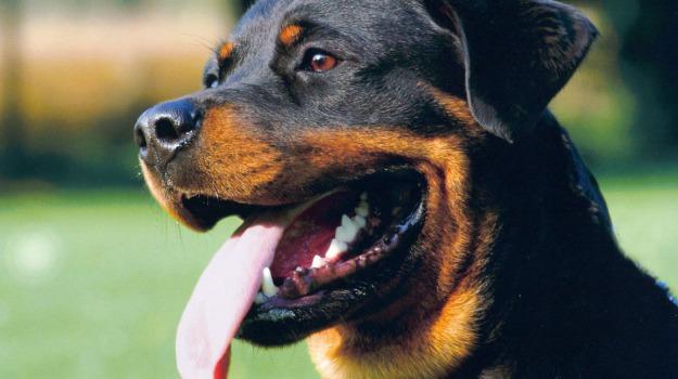 animali, cani, razza, regioni, Sicilia, Sicilia, Vita