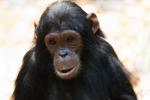 """""""Tommy non è come gli umani"""", negati i diritti ad uno scimpanzè"""