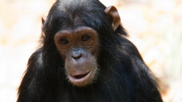 animali, diritti, scimpanzè, Sicilia, Società