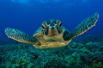 """Con mari più caldi scompaiono le tartarughe marine """"al sole"""""""
