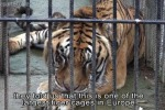 Colpita dalla crisi, tigre dalla Grecia trasferita in California - Video
