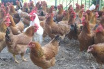 Germania, caso di influenza aviaria: chiuso uno zoo