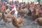 Incubo aviaria in Giappone, abbattuti altri 37 mila polli