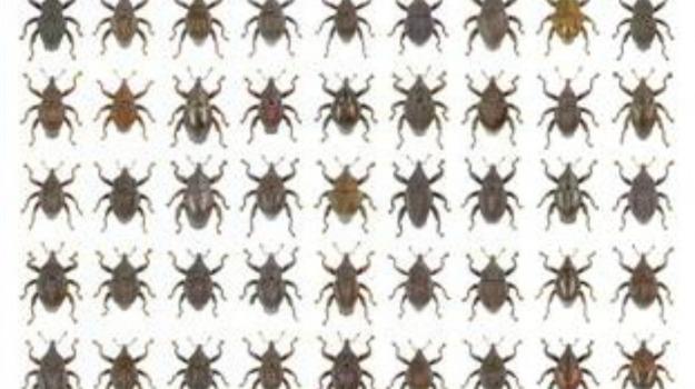 coleotteri, Indonesia, insetti, Sicilia, Vita