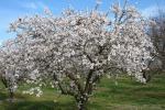Agrigento, ecco il programma della sagra del mandorlo in fiore
