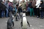 Passeggiata all'aperto per i pinguini dello zoo in Ungheria