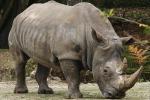 Nuovo allarme per i rinoceronti, è impennata del commercio di corni