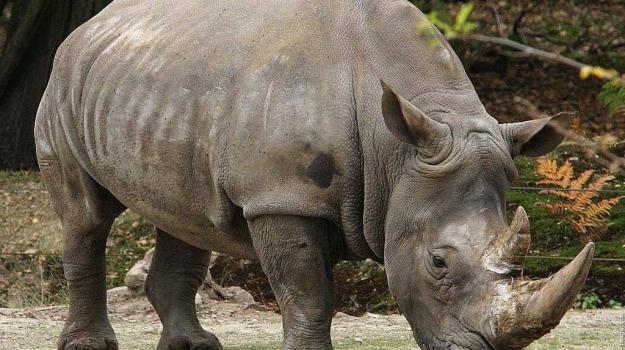 commercio, corni, rinoceronte, Sicilia, Società