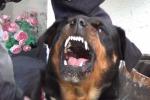 Adrano, rottweiler azzanna bimba di quattro anni nel cortile dei nonni