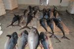 Sequestrate 2,8 tonnellate di tonno rosso a Catania