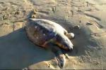"""Grossa tartaruga """"Caretta caretta"""" spiaggiata a Giallonardo - Il video"""