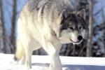 Usa, uccisa lupa grigia in via d'estinzione: avvistata per la prima volta in 70 anni