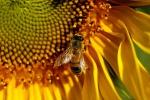 Moria delle api, la causa nella crescita precoce degli insetti