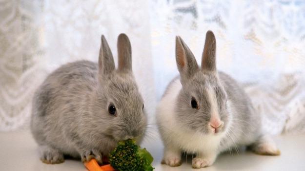 animali, conigli, Sicilia, Società