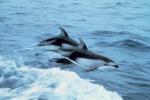 Dal Giappone l'appello: stop ai delfini presi con pratiche crudeli
