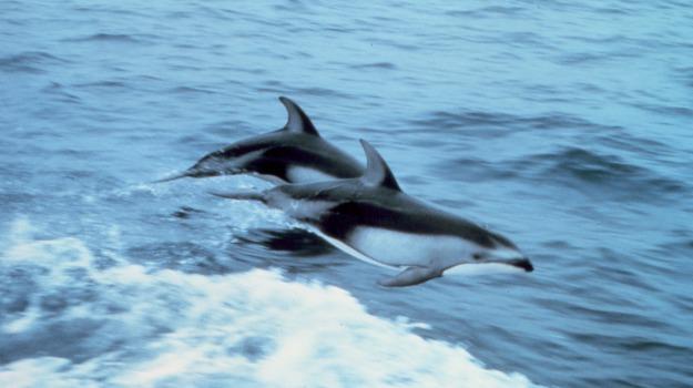 cattura, delfini, Sicilia, Società