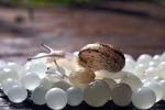 Il caviale di lumache... va veloce: quello siciliano arriva fino in Russia