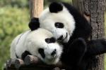 Panda a rischio di estinzione: la colpa del riscaldamento globale che colpisce il loro cibo