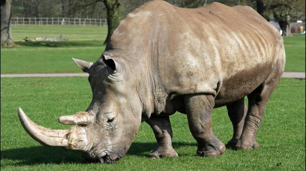 esemplari, rinoceronte, Sicilia, Vita