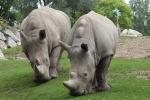 Bracconaggio record in Sud Africa: rinoceronte verso l'estinzione