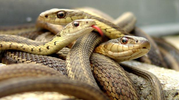 serpenti, studio, Sicilia, Società