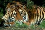 Boom di tigri, in India 800 esemplari in più - Foto
