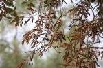 Xylella, batterio killer minaccia le piante europee